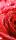 "Türtapete ""Rose"", Türposter, selbstklebend 2050 x 880 mm"
