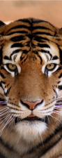 "Türtapete ""Tiger"", Türposter, selbstklebend 2050 x 880 mm"