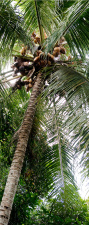 "Türtapete ""Palme, Kokosnuss"",..."